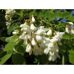 Akácvirág, fehér