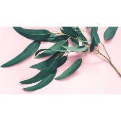 Eukaliptusz levél