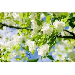 Jázminvirág